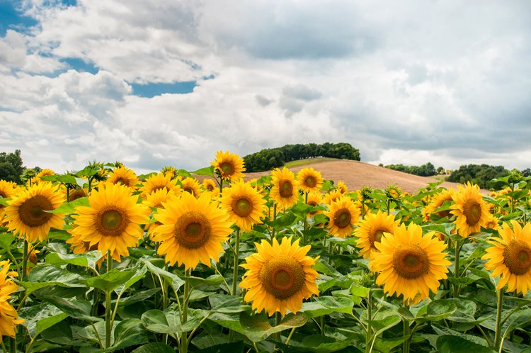 sunflowers-and-hill-free-license-cc0.jpg